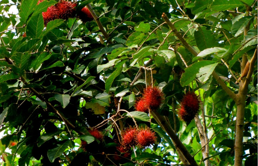 حديقة الفواكه في جزيرة بينانج ماليزيا - معلومات ماليزيا - سياحة ماليزيا - اماكن سياحية في ماليزيا